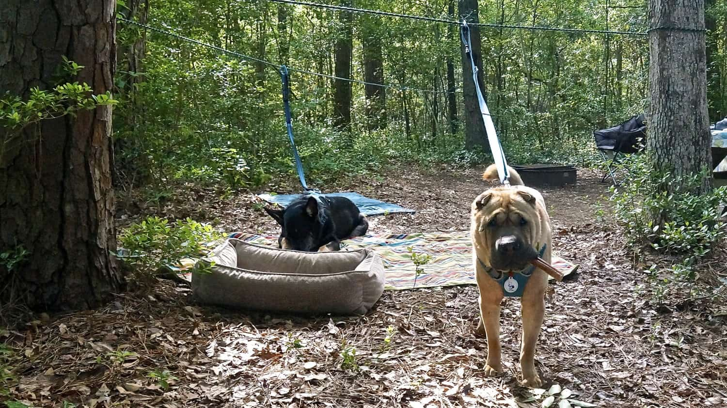 Ty the Shar-pei and Buster the German Shepherd from GoPetFriendly.com lounging on their zip line in a campsite