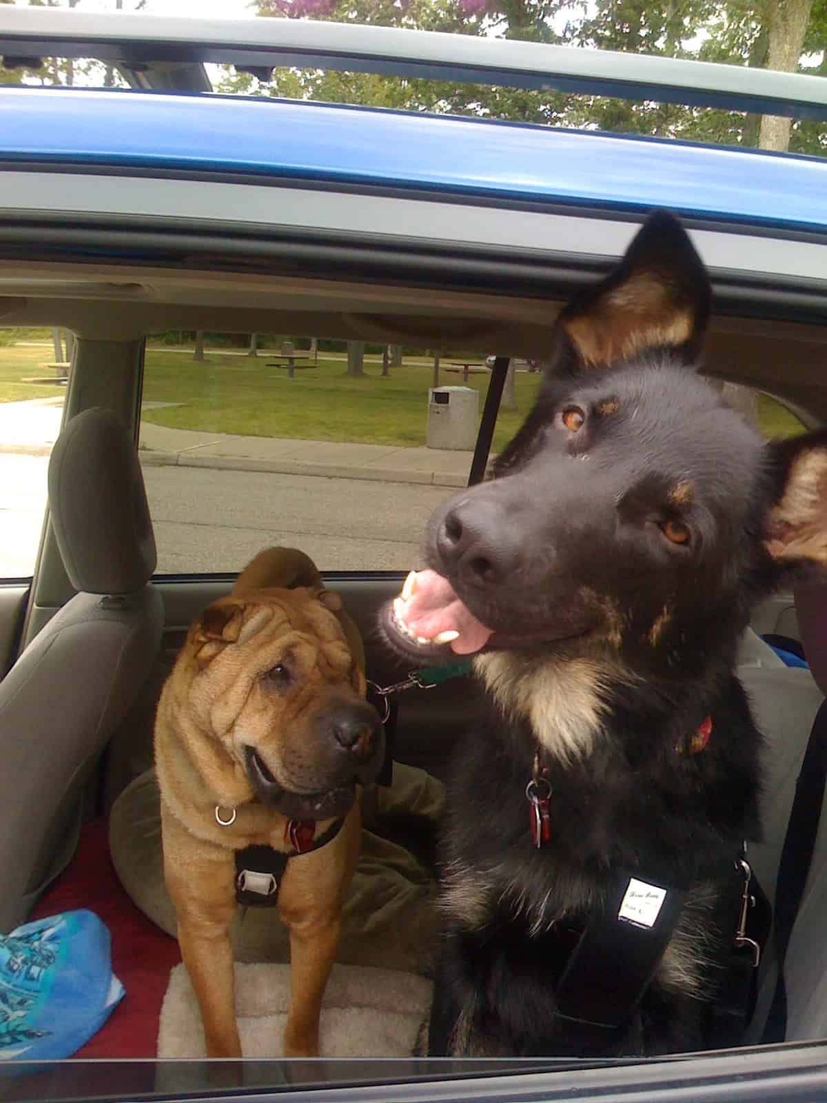 Ty and Buster in the RAV4 on Buster's first road trip.