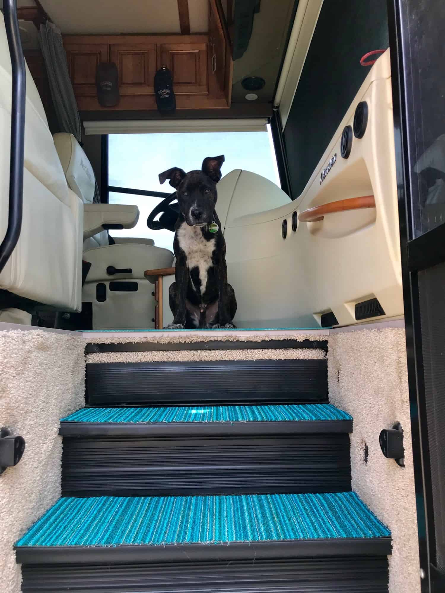 Brindle puppy sitting at the top of the stairs in a motorhome