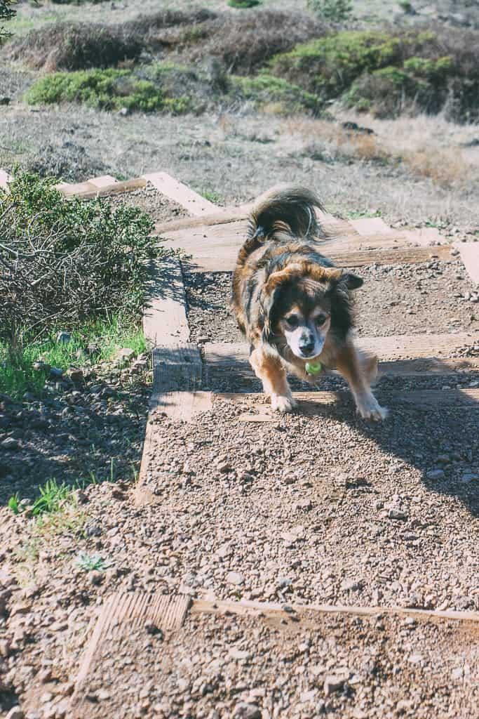 Babu the dog scrambling up a dog friendly hiking trail in San Francisco, CA