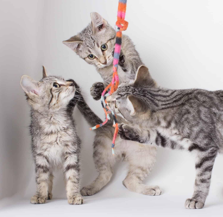 Kittens Playing - Hesperia, CA