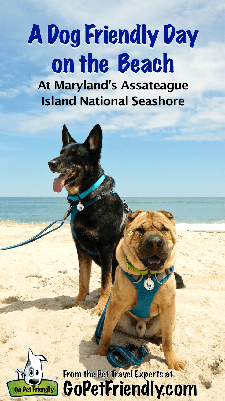 A Dog Friendly Day on the Beach at Maryland's Assateague Island National Seashore from GoPetFriendly.com
