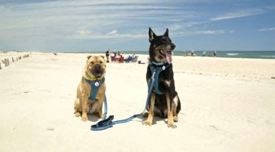 Dog Friendly Beach at Assateague Island National Seashore