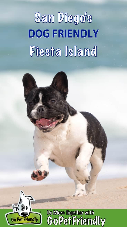 French Bulldog puppy running on the dog friendly beach at Fiesta Island near San Diego, CA