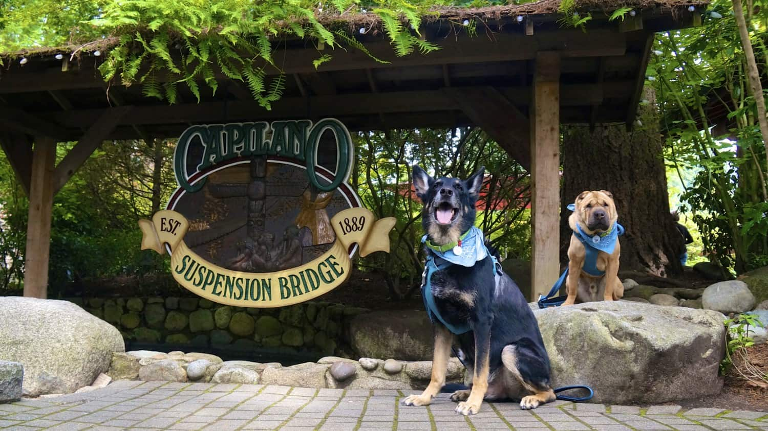 German Shepherd Dog and Shar-pei at the dog friendly Capilano Suspension Bridge in Vancouver, BC