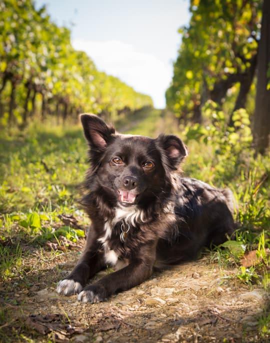 VanDoggo Italy Florence Vineyard