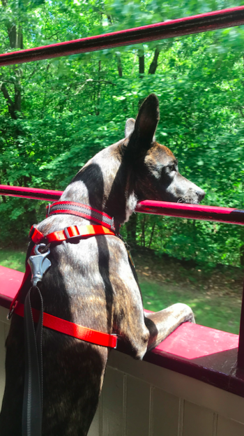 Brindle dog in a red harness on the Leigh Gorge Scenic Railway in Jim Thorpe, PA