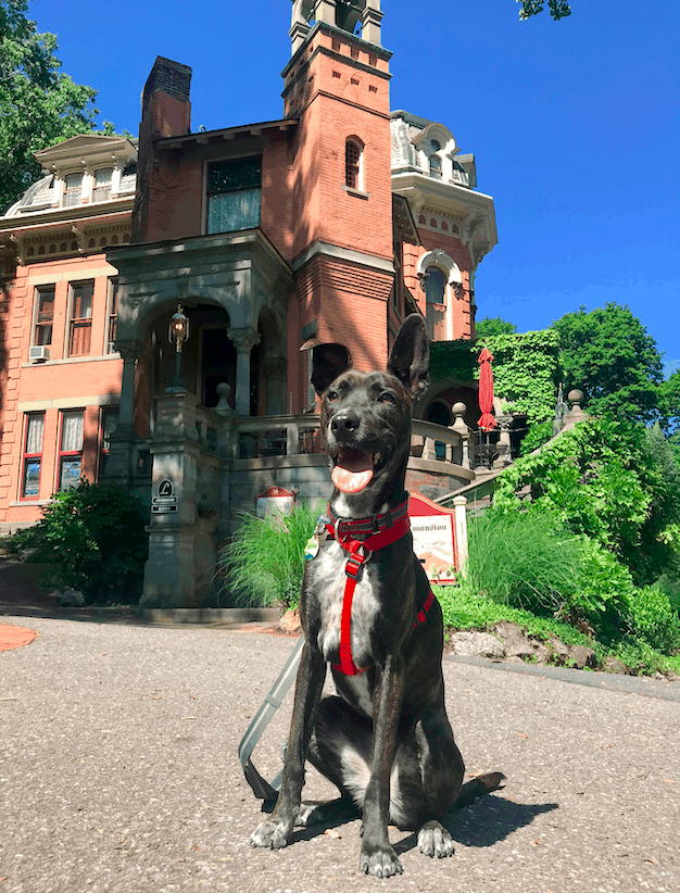 Brindle dog in a red harness in front of a historic home in Jim Thorpe, PA