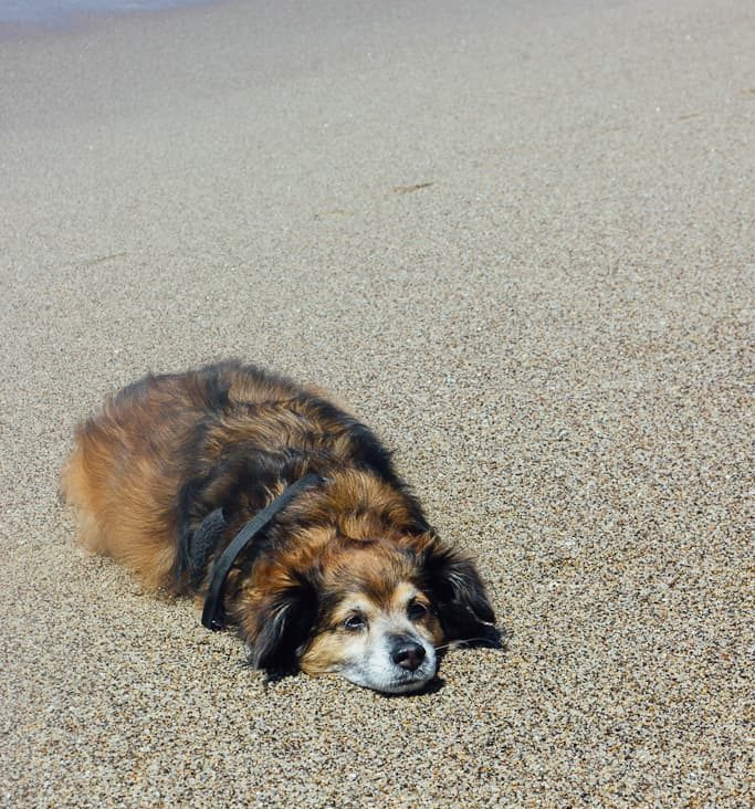 Dog laying on the sand on a dog friendly beach in California