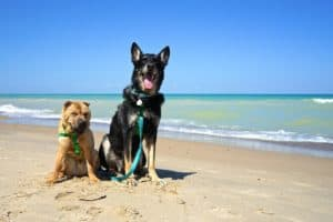 Shar-pei and German Shepherd Dog on a pet friendly beach at Indiana Dunes National Park, Indiana