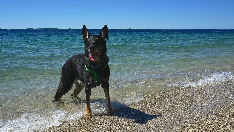 Black German Shepherd Dog swimming at the beach on Mackinac Island, MI