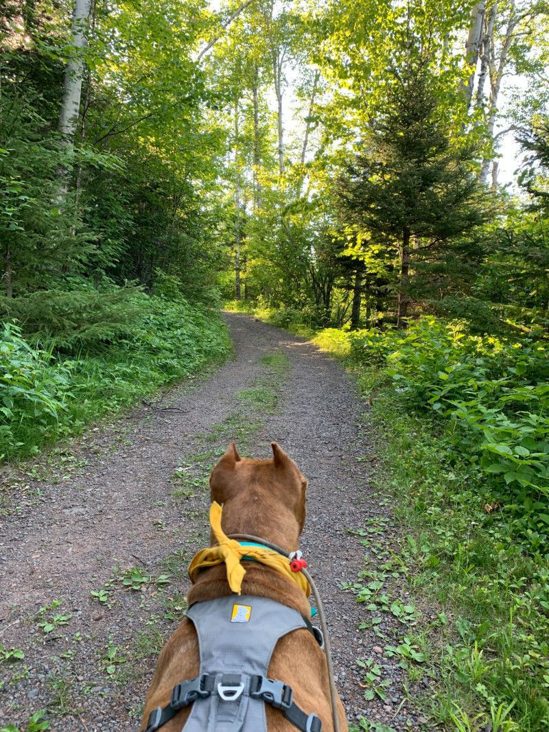 Brown dog on leash hiking a pet friendly trail in the woods at Split Rock Lighthouse State Park in Minnesota