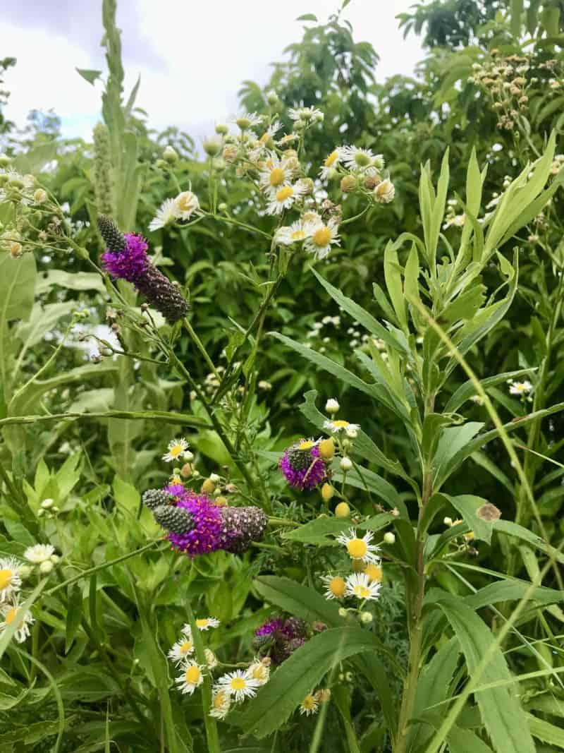 Wildflowers at Trempealeau National Wildlife Refuge in Wisconsin