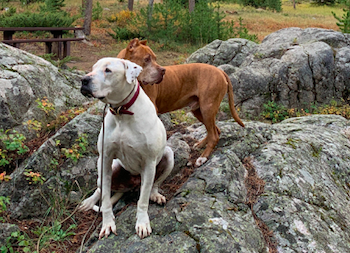 Two dogs on a rock on the Beartooth Pass Highway in Montana