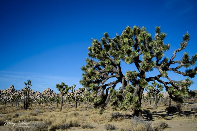 Hiking at Joshua Tree National Park with Dogs | GoPetFriendly.com