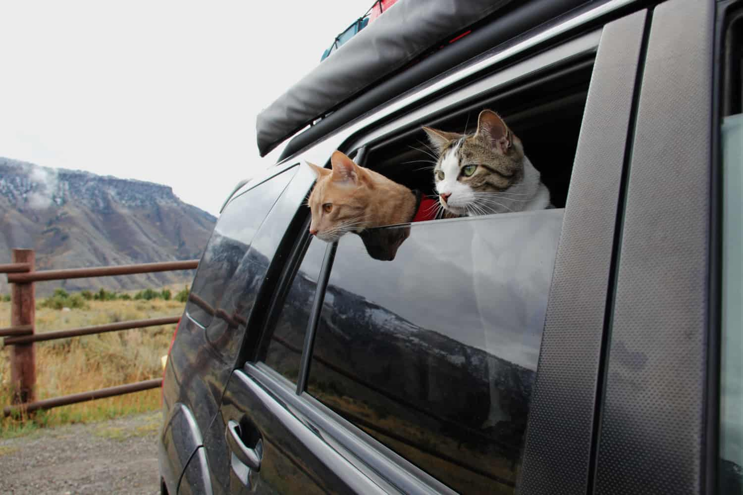 Personality Traits of Adventure Cats