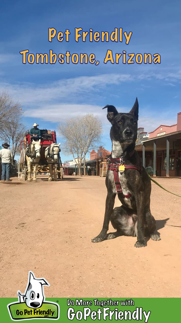 Brindle pup in a red harness sitting on the dirt street in pet friendly Tombstone, AZ