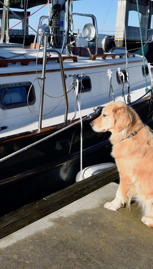 Honey the boat dog waits at the dock.
