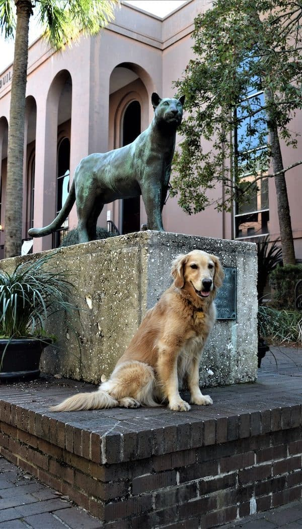 Honey the golden retriever poses with the cat on the College of Charleston campus.