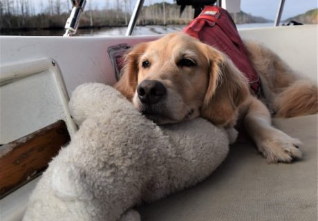 Honey the golden retriever stays home on the boat.|GoPetFriendly.com