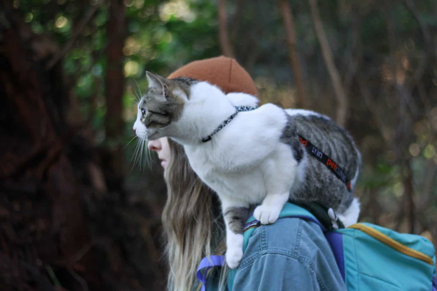 Chips the cat perched on a woman's shoulder wearing an H-style cat harness