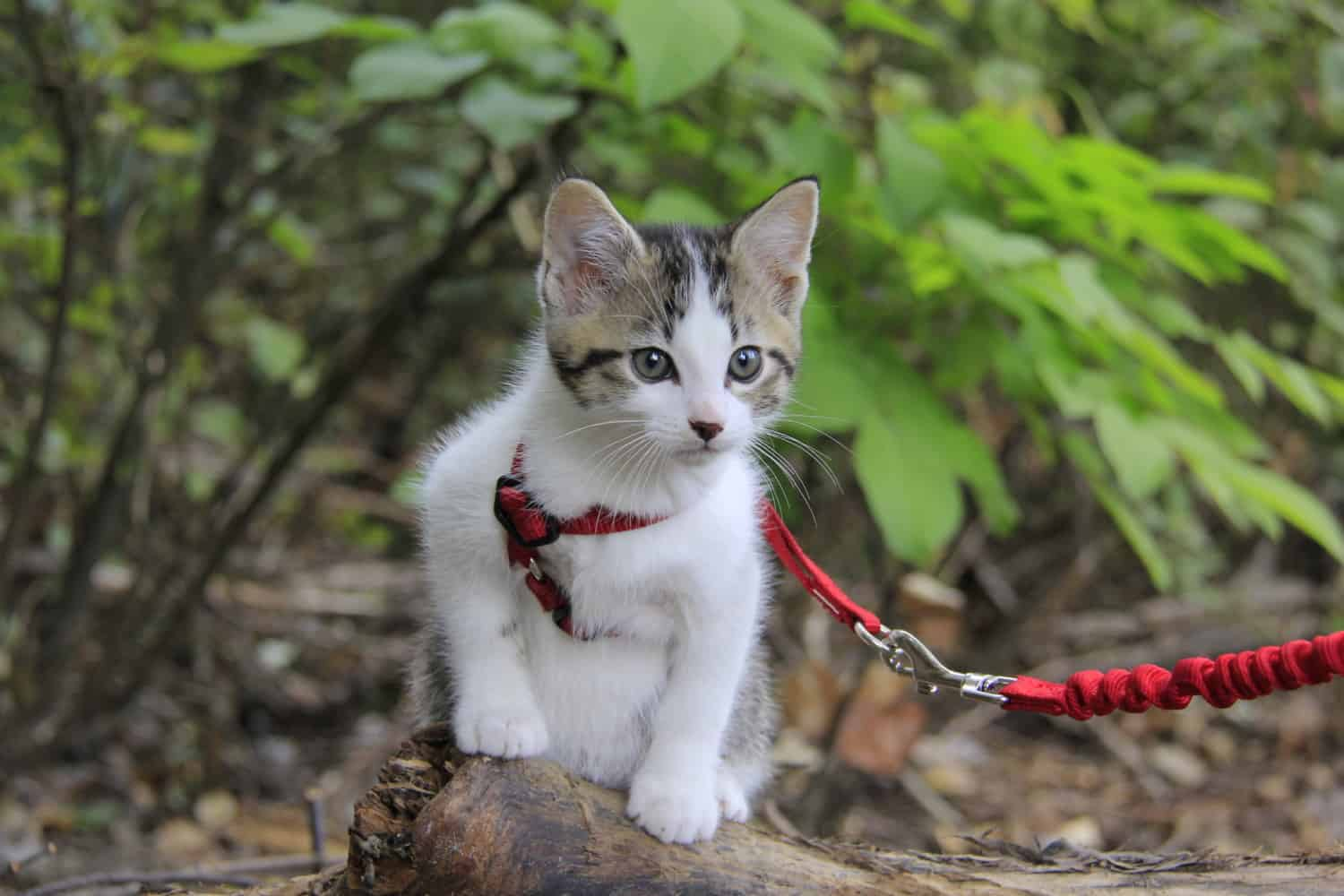 Chips the grey kitten on a log in his red cat harness
