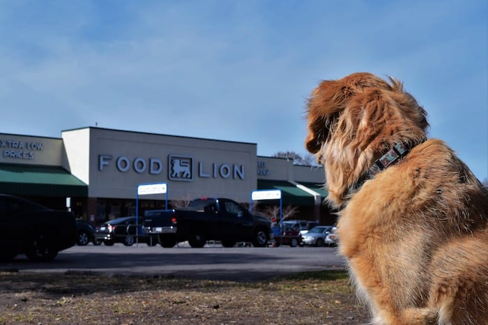 Honey the golden retriever waits outside the grocery store in Charleston.