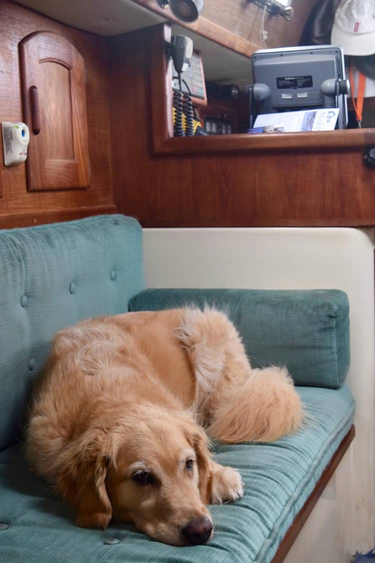 Honey the golden retriever is tired out on the settee.