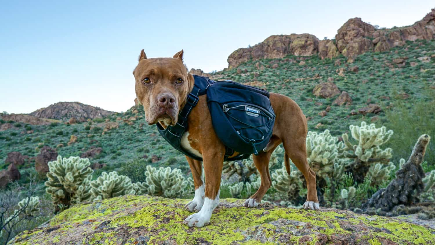 Hercules the pitbull dogs posing in a Bay Dog backpack with mountains in the background