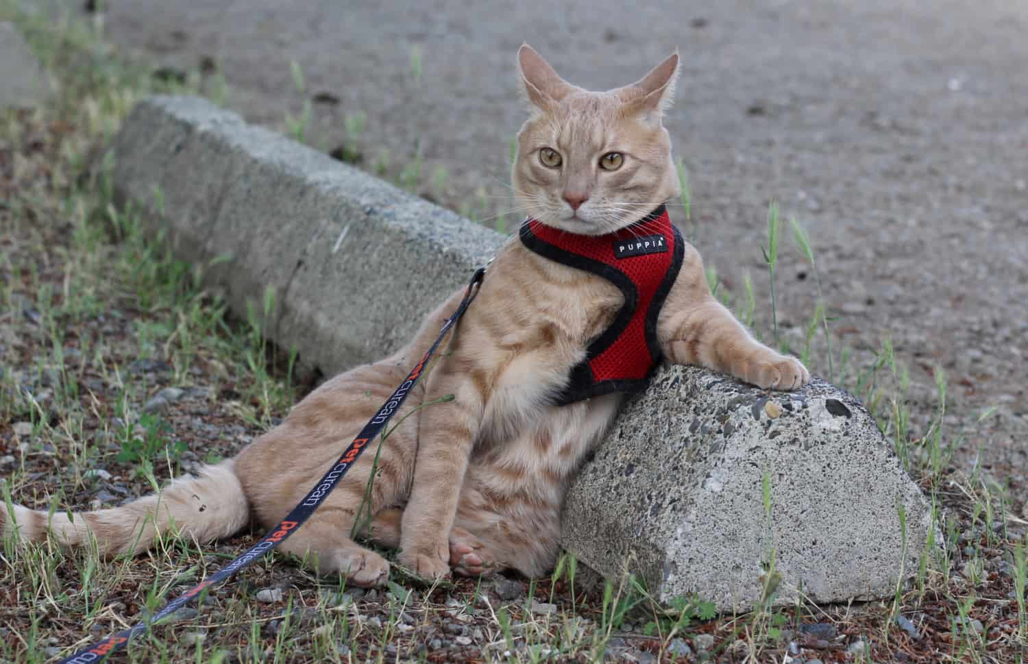 Orange stripe cat in a red harness lounging against a parking barrier
