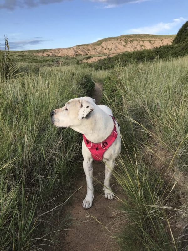 White dog on a pet friendly trail in Pawnee National Grassland