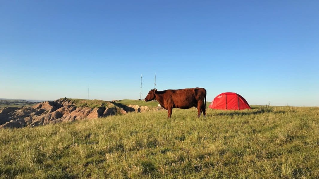 A cow with a tent in the background at the national grassland
