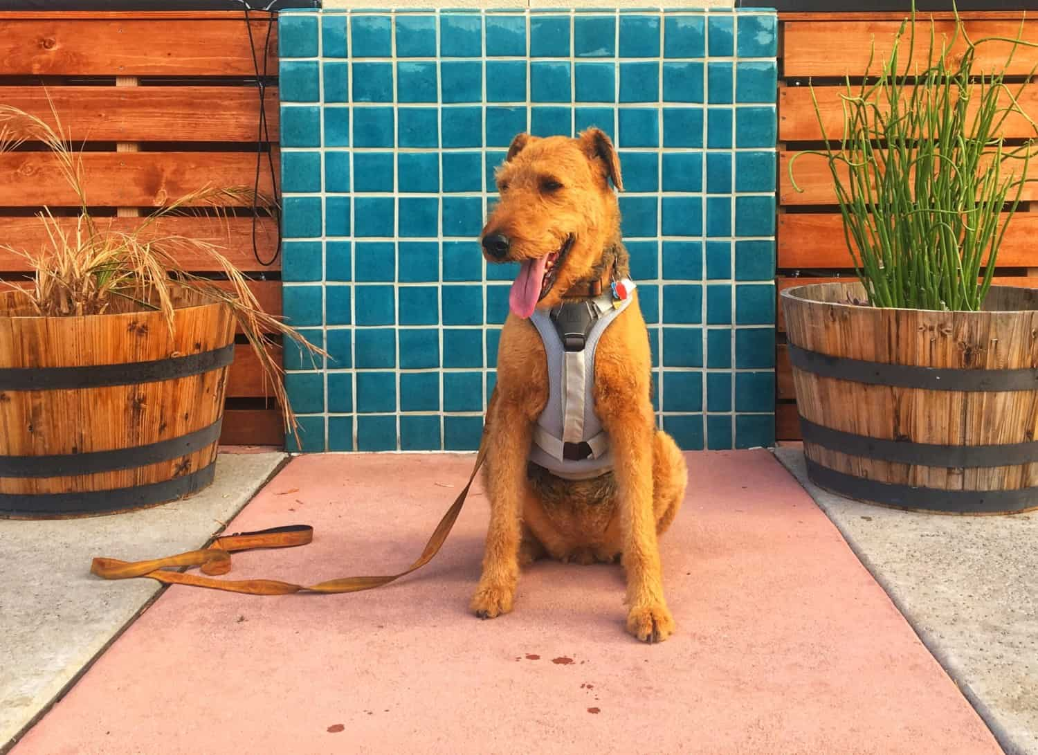 Airedale terrier in a dog cooling vest