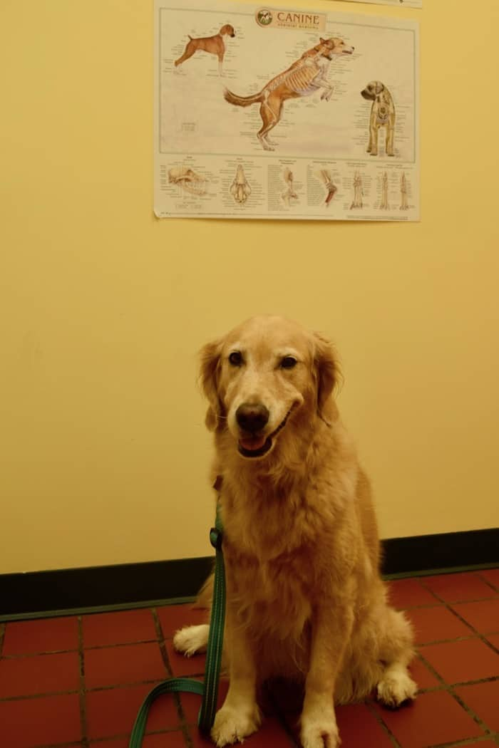 Honey the golden retriever sits pretty at the vet's office.