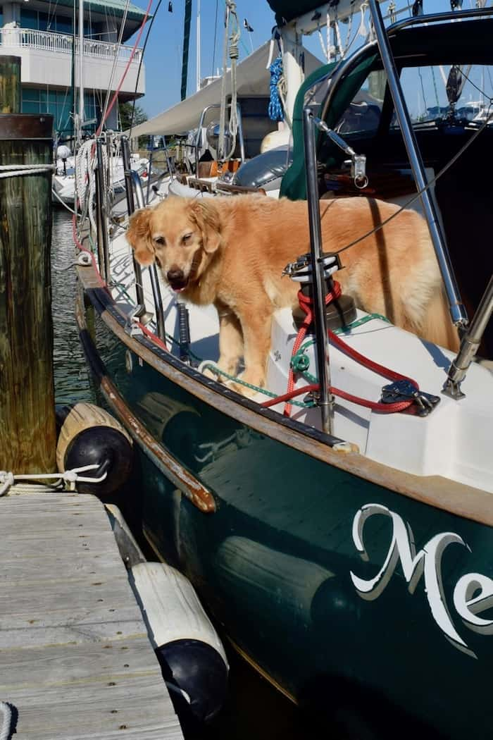 Honey the golden retriever considers jumping off the sailboat onto the dock.