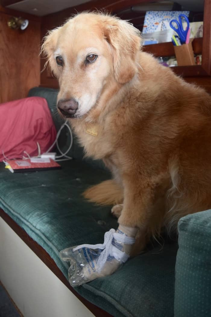 Honey the golden retriever looking dejected with the plastic bag covering the bandage on her paw.
