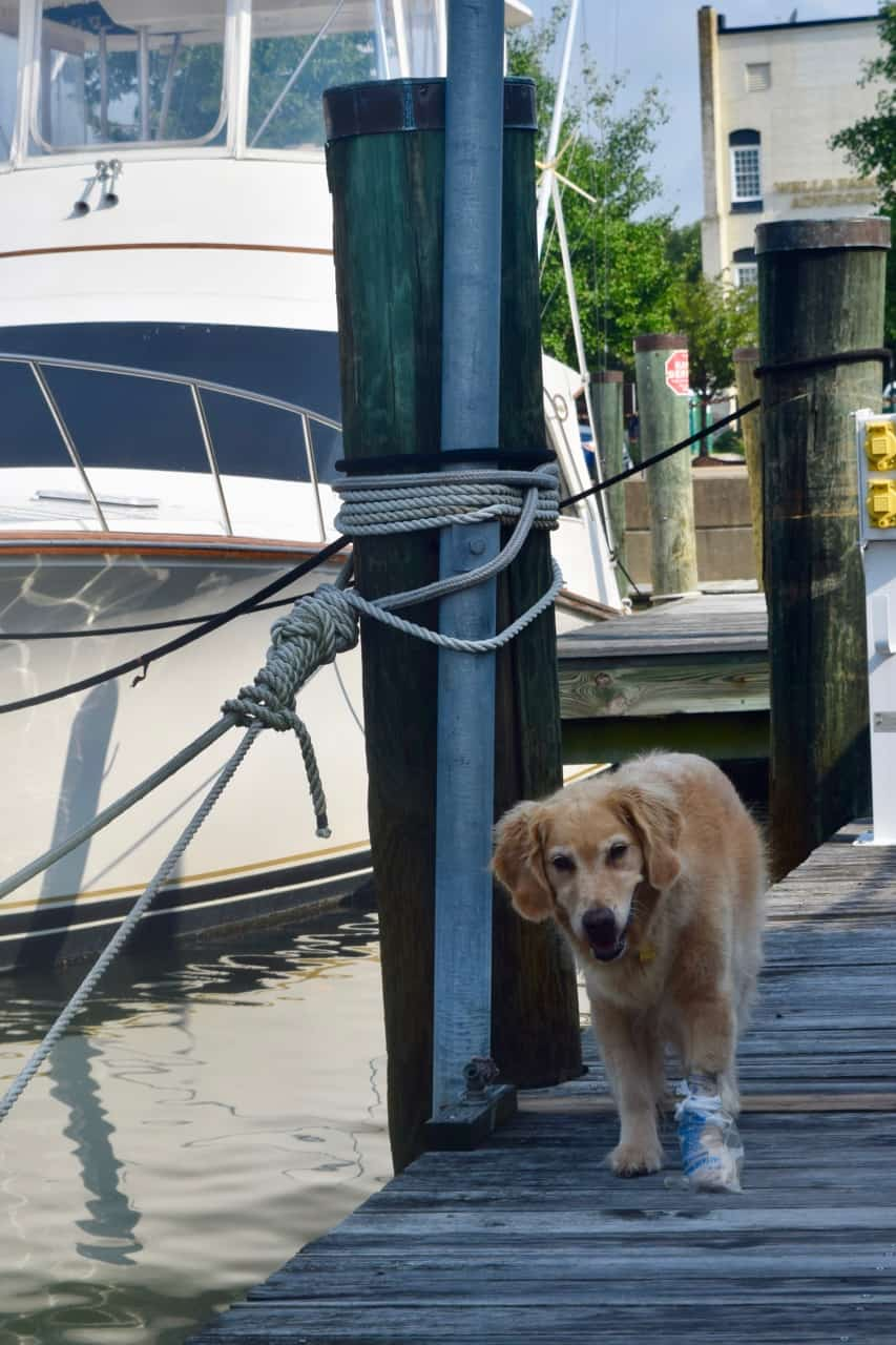 Honey the golden retriever walks the dock with a plastic bag on her bandaged paw.