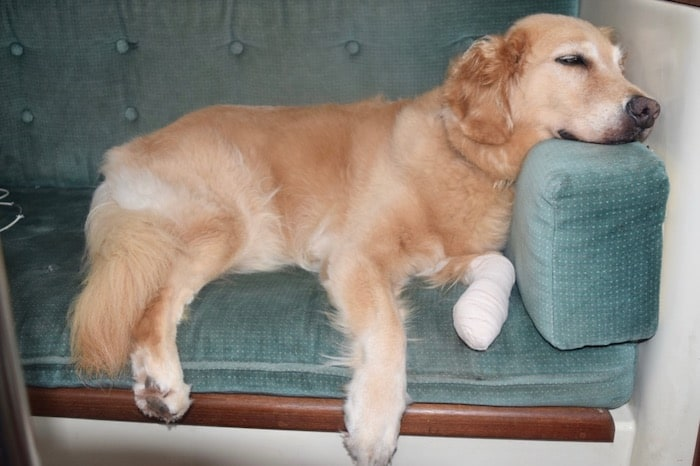 Honey the golden retriever laying on the sofa with a bandaged paw.
