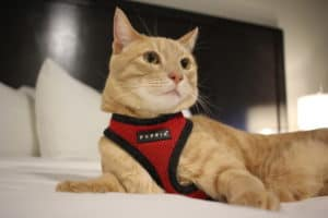 Fish the orange cat in a harness lays on a bed in a hotel room
