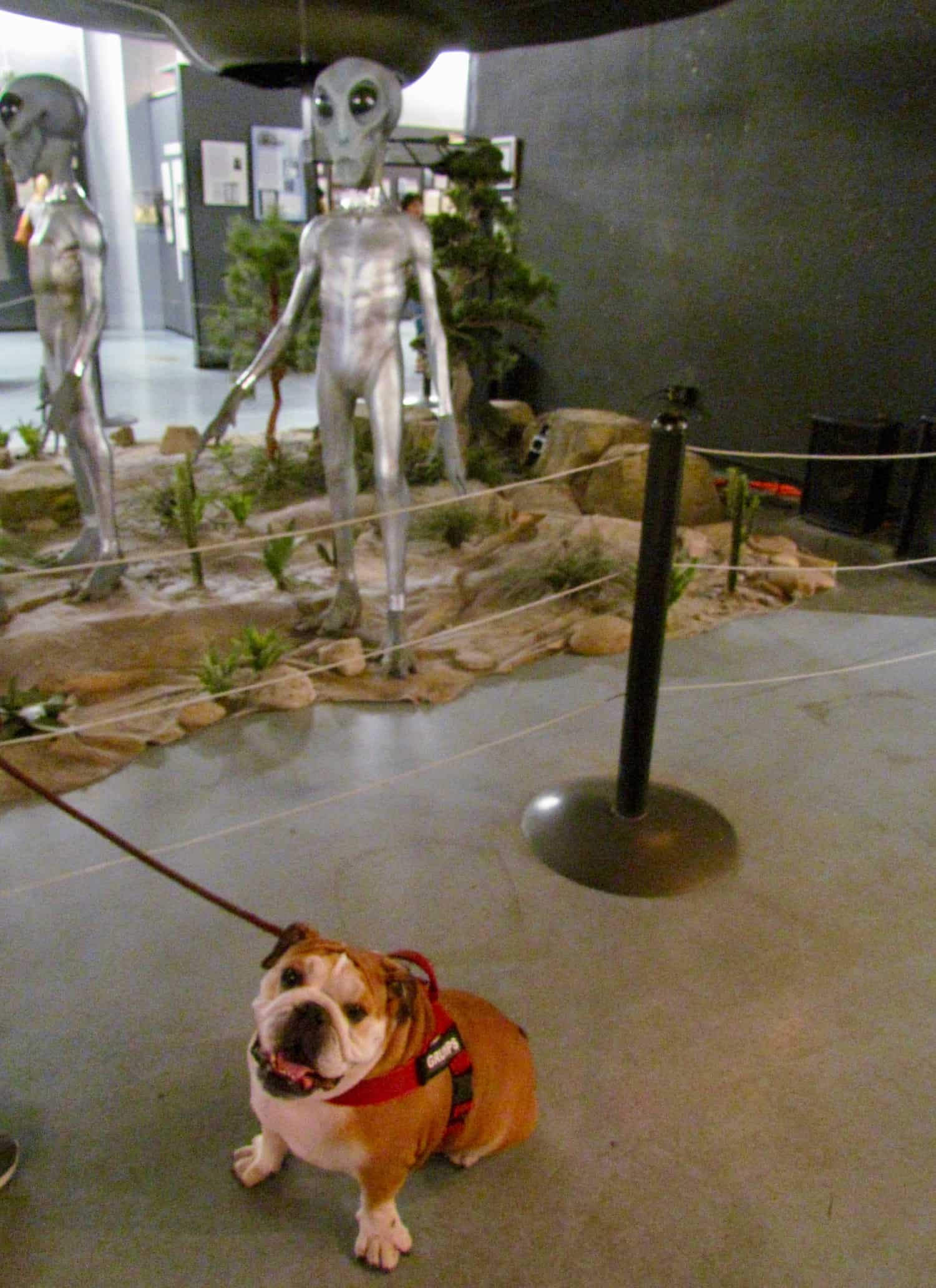 Toby the Bulldog at the International UFO Museum in Roswell, New Mexico