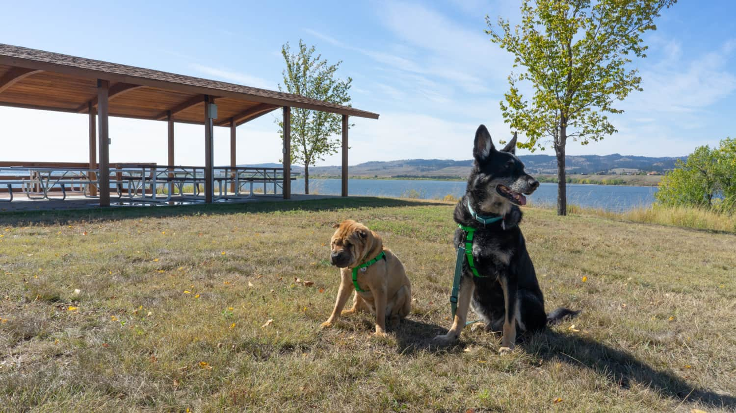 Ty the Shar-pei and Buster the German Shepherd from GoPetFriendly.com at the pet-friendly picnic area at Angostura Recreational Area in South Dakota's Black Hills
