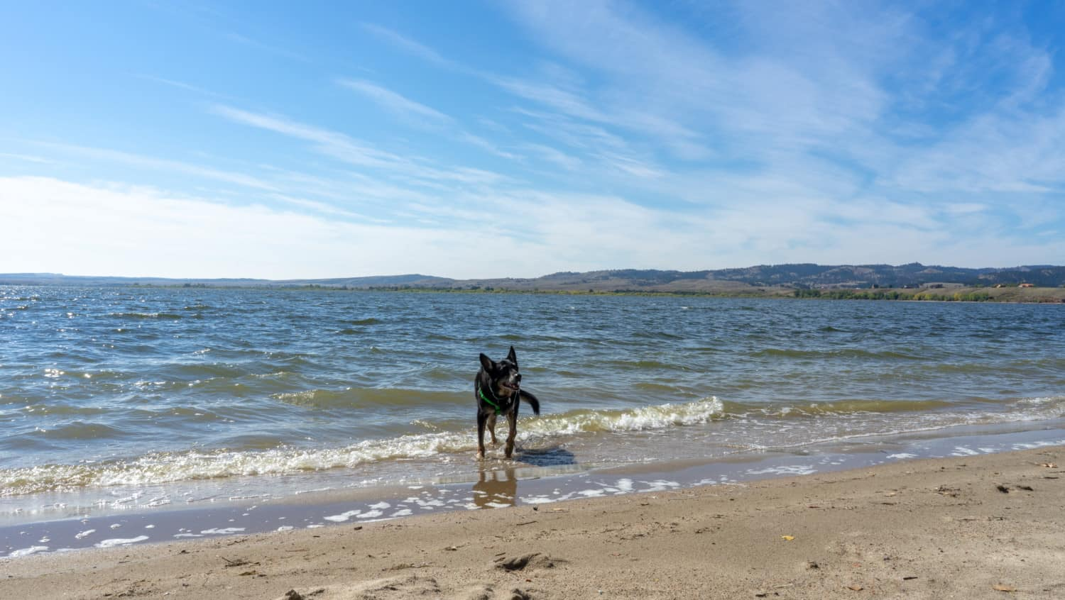 Buster the German Shepherd from GoPetFriendly.com leash-free on the pet-friendly beach at Angostura Recreation Area, SD