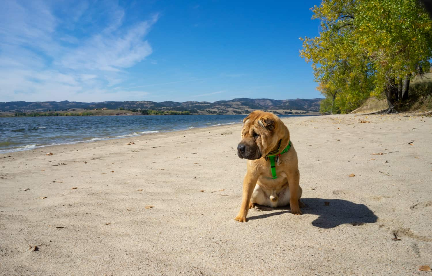 Ty the Shar-pei from GoPetFriendly.com on the pet-friendly beach at Angostura Recreation Area, SD