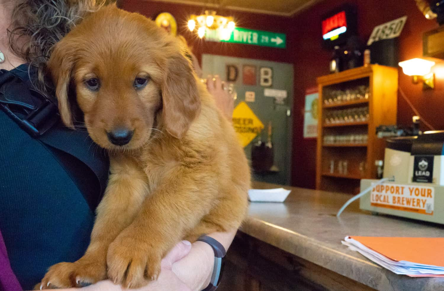 Golden Retriever puppy at pet-friendly Dakota Shivers Brewing in Lead, CO