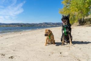 Ty the Shar-pei and Buster the German Shepherd from GoPetFriendly.com on the pet-friendly beach at Angostura Recreation Area, SD
