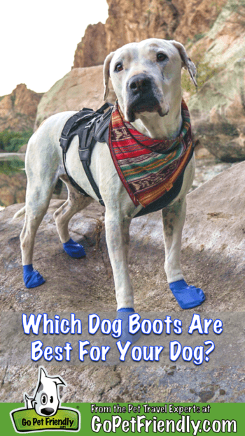 Cool Whip the dog hiking a pet-friendly trail in blue dog boots
