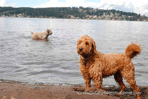 Labradoodle on dog-friendly beach in Seattle, WA