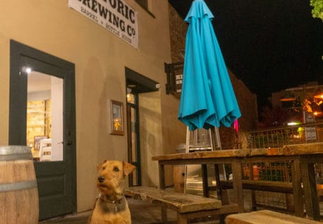 Airdale Terrier on the dog-friendly patio at Historic Brewing Company in Flagstaff, Arizona