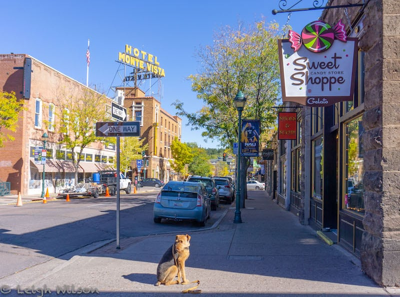 Airedale Terrier in historic downtown Flagstaff