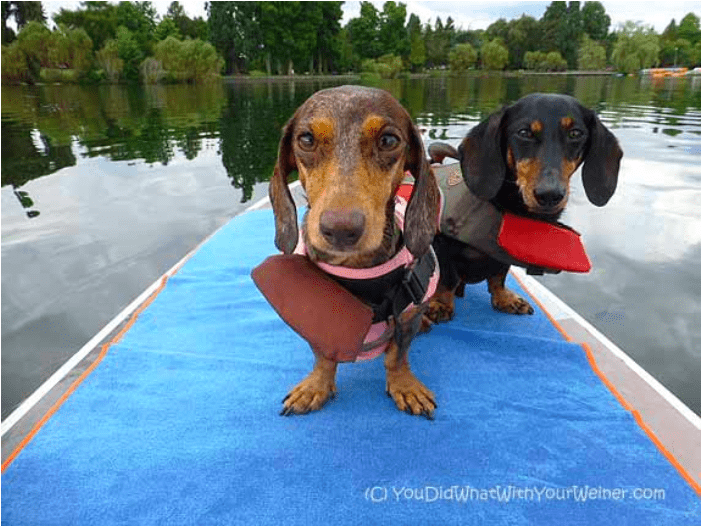 Gretel and Chester the dachshunds in life vests on a paddleboard in Seattle, WA